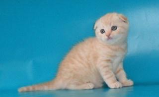 Редчайший серебристо-кремовый окрас, привит котик 1 месец