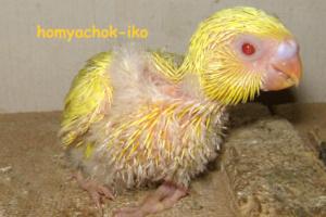 попугайчик-птенчик 1