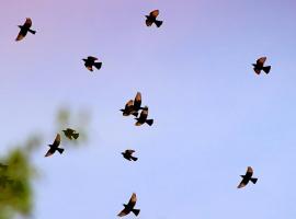 Полёт длиннохвостых скворцов (2 снимка)
