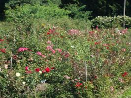 Питомничек розового молодняка