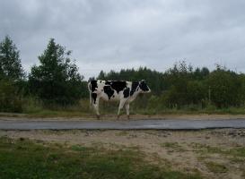 Корова- глобус.