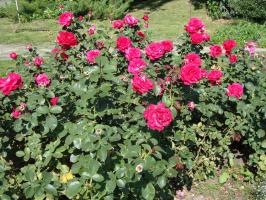 Ещё розы