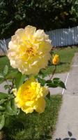 Розы, Сентябрь 29, 2013