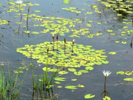 дикие водяные лилии....