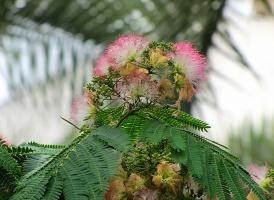 Цветы ленкоранской акации