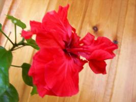 Гибискус красный