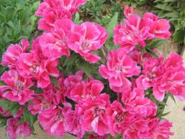 цветы2010г. 054