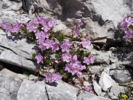 Альпийские цветы.