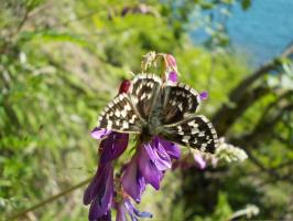 Горошек в бабочке