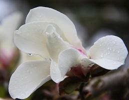 Цветок магнолии после дождя