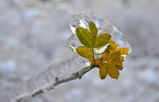 Листики в леденцах