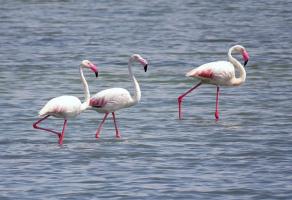 Дикие фламинго в Израиле
