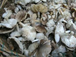 Вот такие грибочки осенние: рядовка.