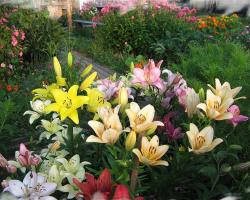 Лилии-любимые цветы