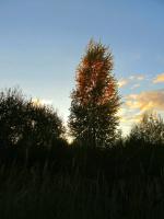 Осенний луч заката окрасил березку.