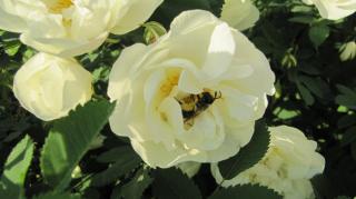 Ароматным будет мёд, пчёлка с розы принесёт.