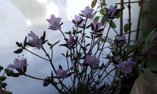 А на окошке цветет багульник