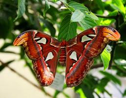 Attacus atlas - самая большая ночная бабочка в мире