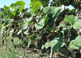 Виноградное изобилие