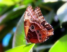 Бабочка Морфо Пелеида