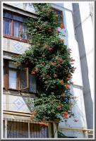 Кампсис на балконах