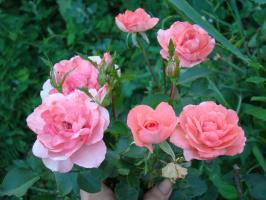 Роза Kurfurstendamm