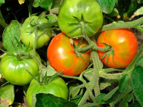 Почему помидоры не торопятся краснеть