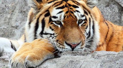Тигр Амадей несколько дней скучал и грустил по Герде