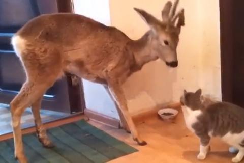 Сибирский олень стал звездой соцсетей, отобрав еду у кота