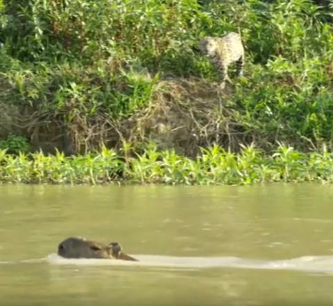 Капибара спаслась за мгновение до нападения ягуара