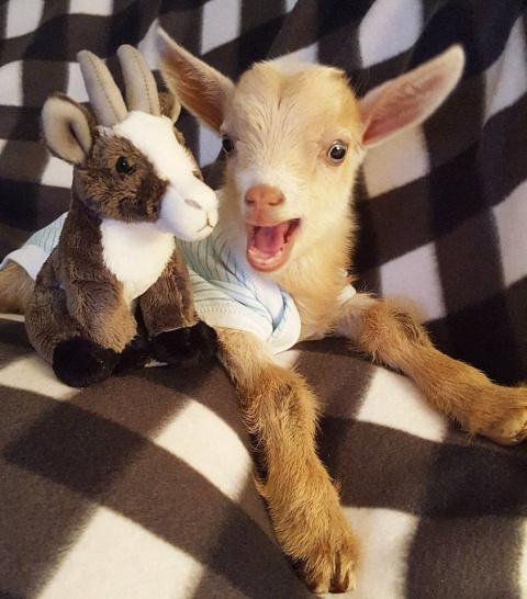 Козленок, родившийся без задних ног, нашел заботливую маму!