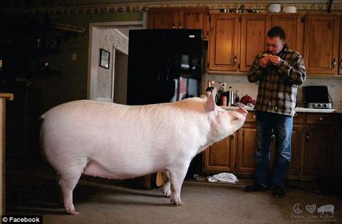 «Карликовая» свинья выросла …