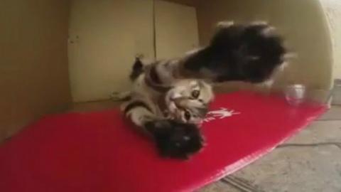 Кот отжигает ( танец Капоэйра )