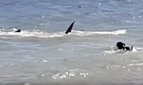 В Австралии собака решила поиграть с тигровой акулой