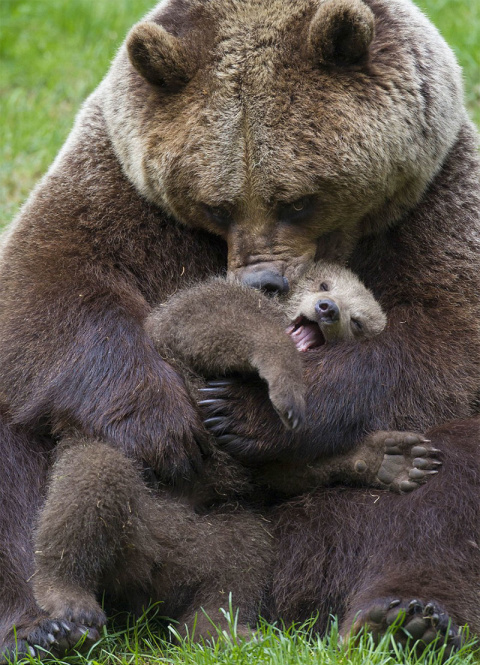 Самые трогательные мамы-медв…