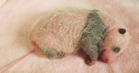 Этот детеныш панды только ро…