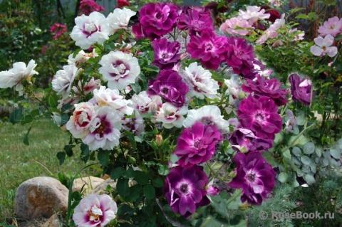 Передержка роз