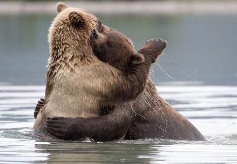 Медведи тоже умеют целоваться!