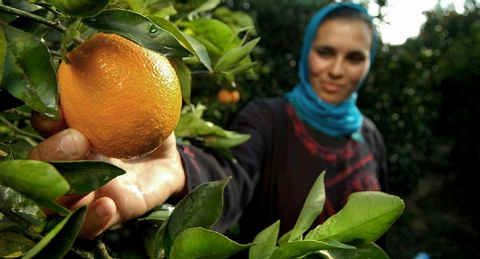 Сирия начала поставки овощей…