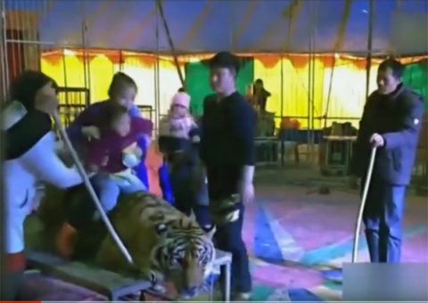 Сотрудники китайского цирка связали амурского тигра на потеху зрителям