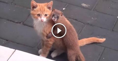 Кот и ласка — лучшие друзья!…