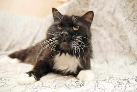 Объявление: Любвеобильный, воспитанный кот в самом расцвете сил ищет семью