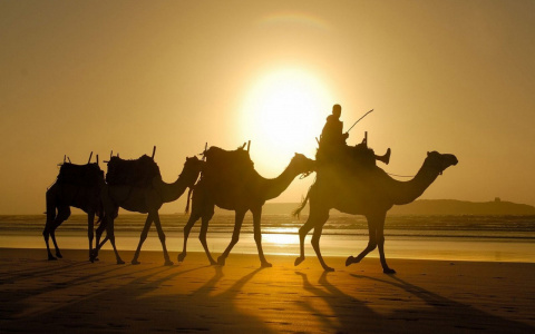 В области разводят верблюдов…