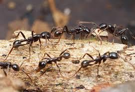 Как избавиться от муравьев в…