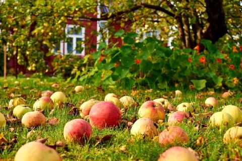 Спасаем сад от плодожорки