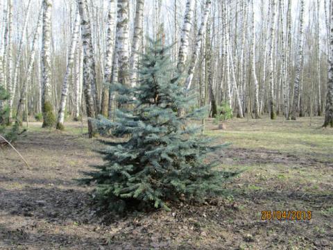 Голубая ель в лесу.