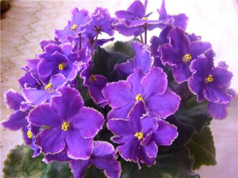 Благодаря этому простому средству из аптечки, фиалки цветут и пахнут даже зимой