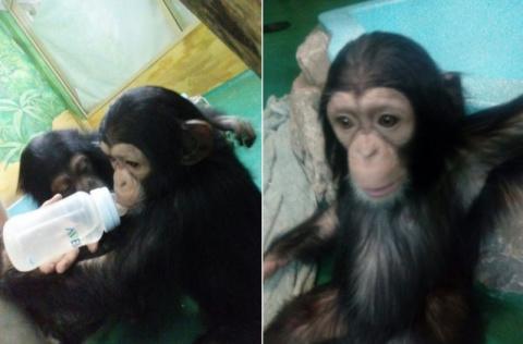Новосибирский зоопарк приютил двух детенышей шимпанзе, отобранных у контрабандиста