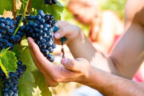 5 причин отсутствия урожая на винограднике