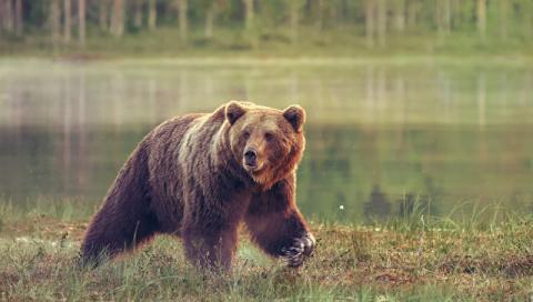 Под Иркутском медведь откуси…